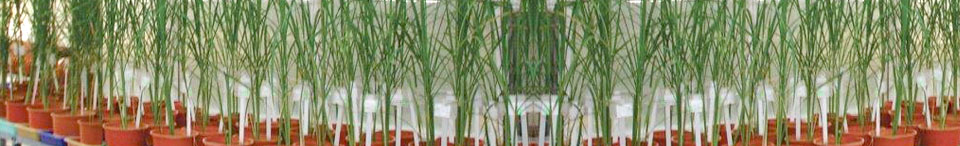 Research Greenhouse -Wheat